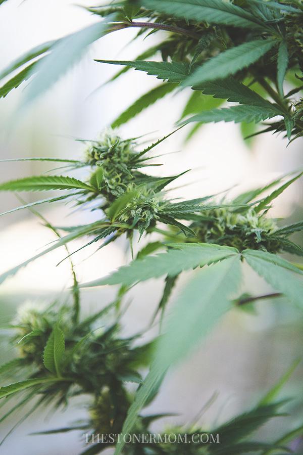 Outdoor Weed Grow