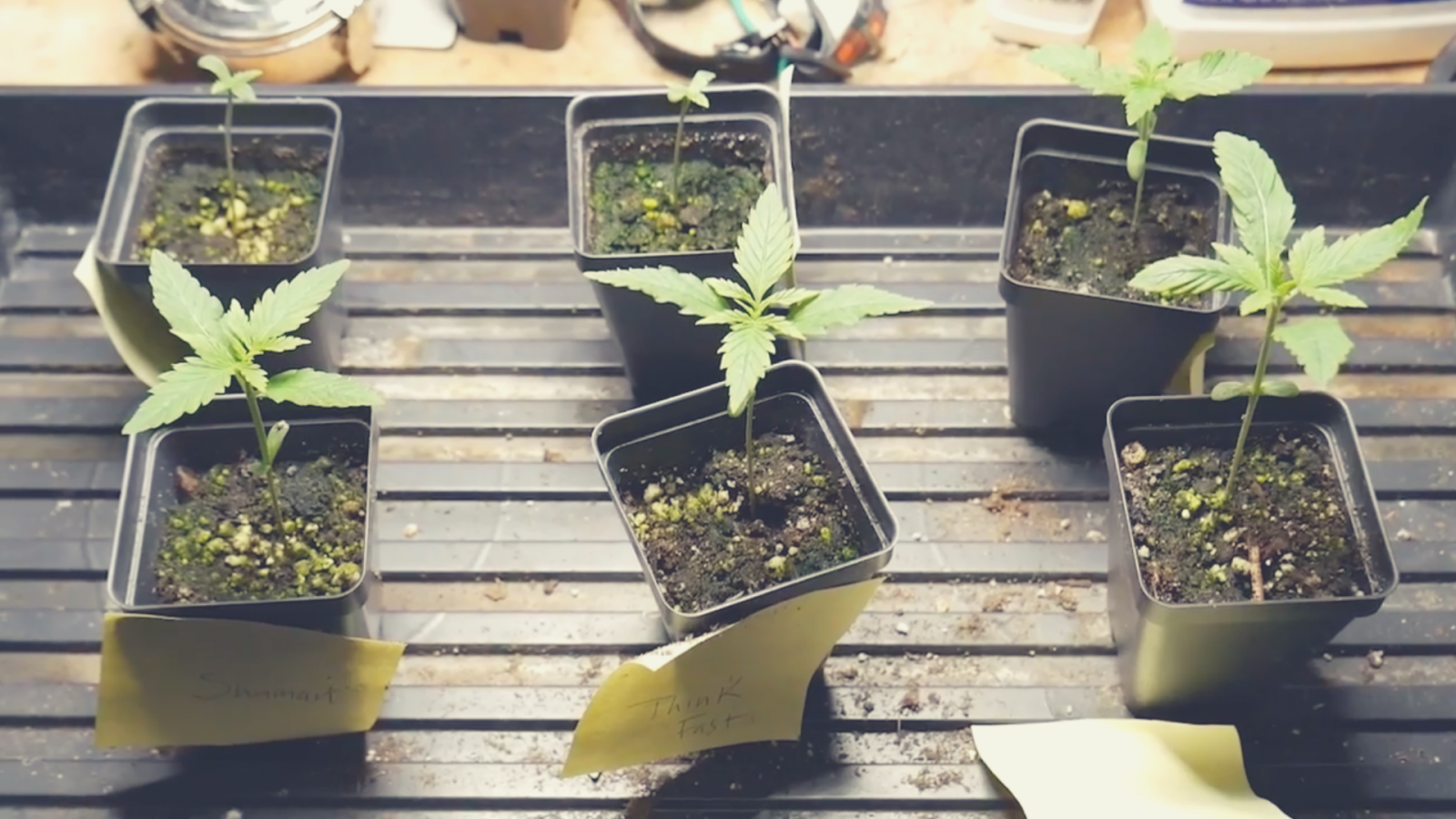 Starting a Cannabis Grow from Seeds | What's Going On in Dave's Grow?